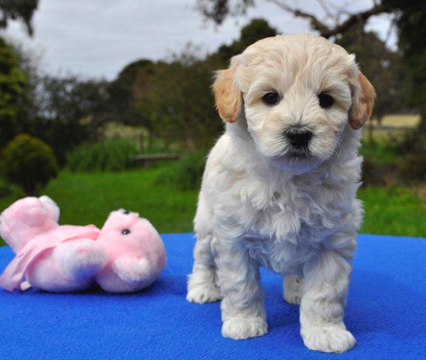 Kirkton's Dory Puppy Photos