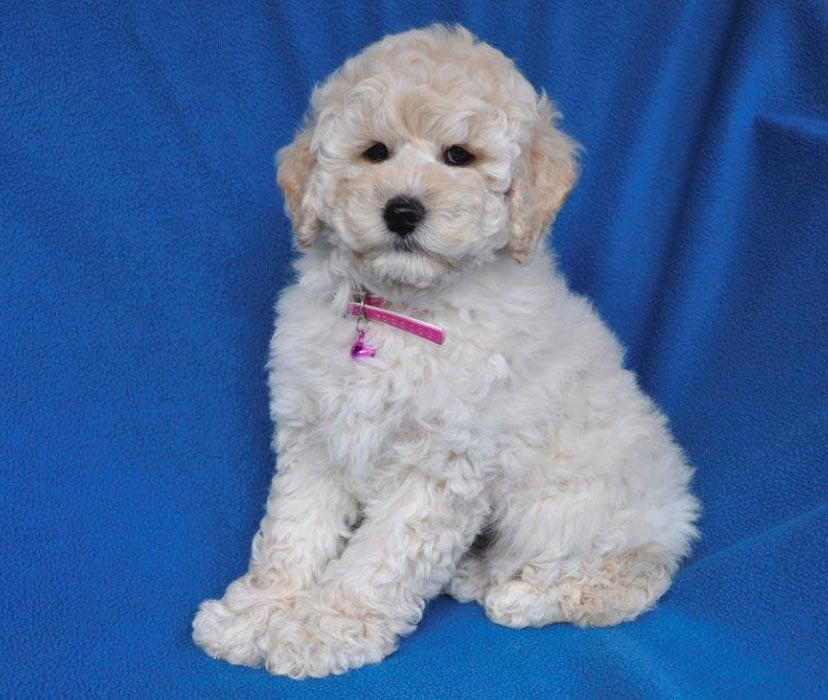 Kirkton's Lexie Puppy Photos
