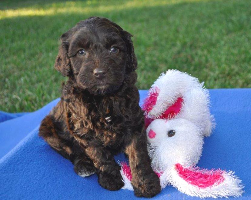Kirkton Lolita / Lolly's Puppy Photos