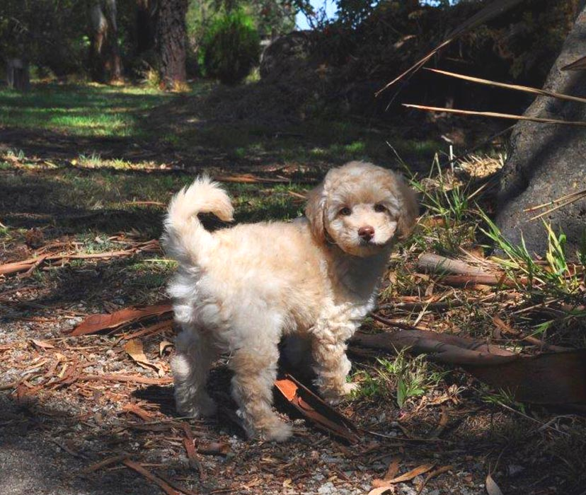 Kirkton's Peggy/Lilly Puppy Photos