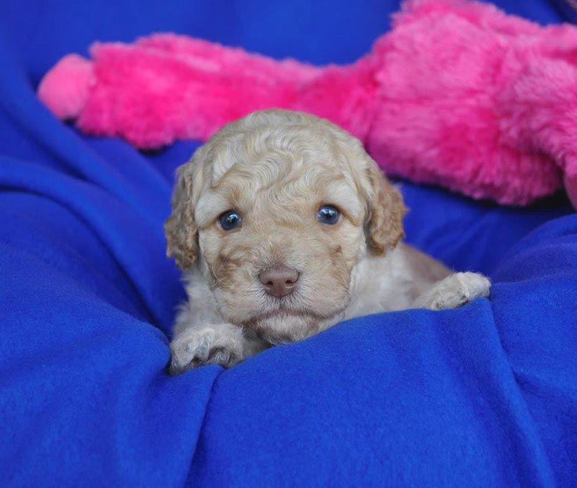 Kirkton Dolly's Puppy Photos