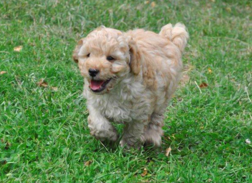 Kirkton's Rose Puppy Photos
